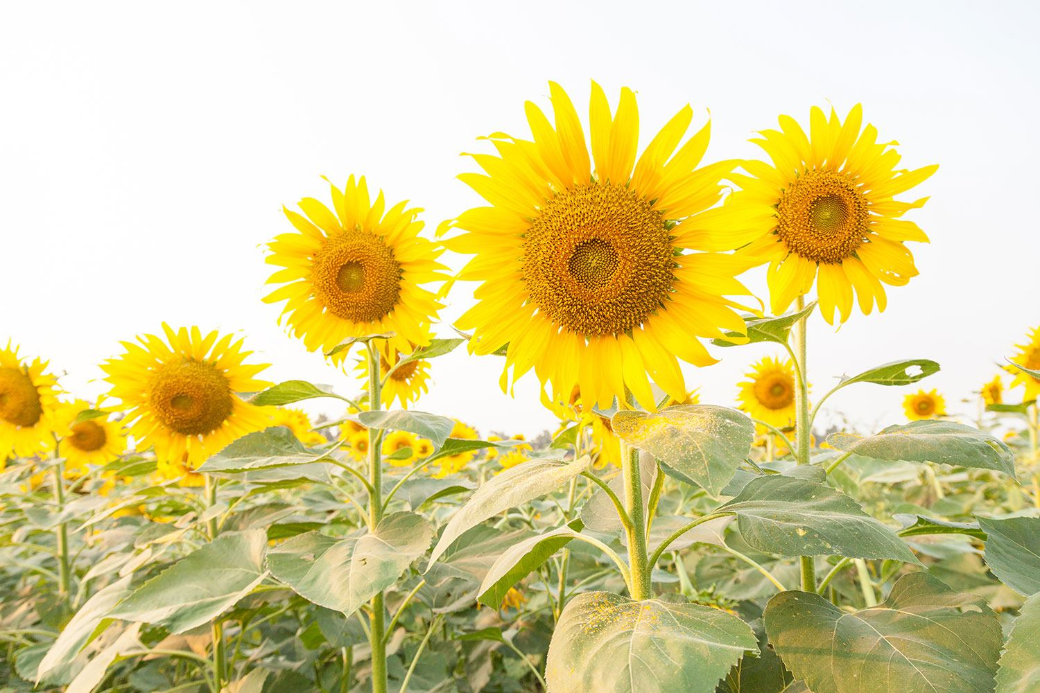 Impression pour Carrelage Le champ de tournesols