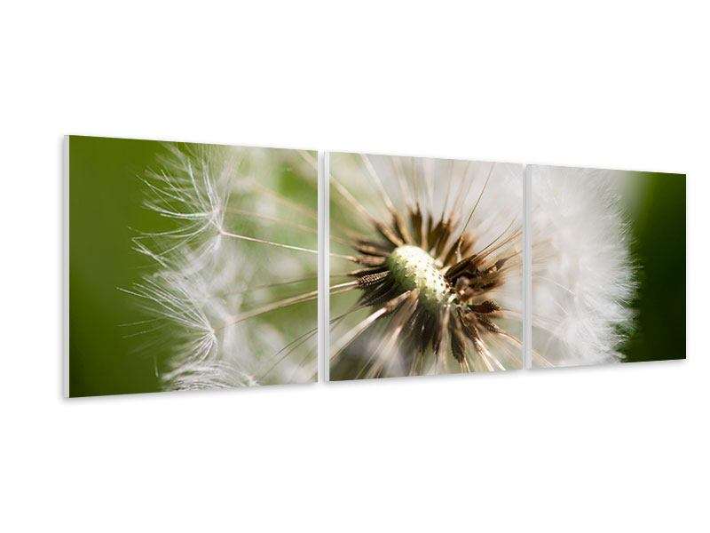 Panoramic 3 Piece Forex Print Blowball Dandelion
